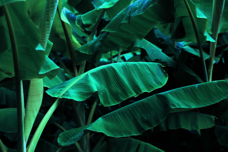 Jungle of tropical banana leaf texture, large palm foliage natural dark green background