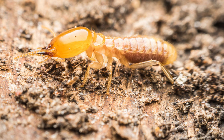 Nest Termite
