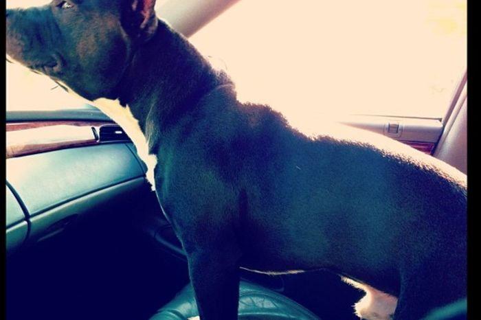 My beautiful pitbull