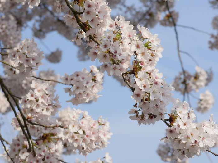 Plant Flower Flowering Plant Fragility Tree Vulnerability  Blossom Cherry Blossom Close-up Nature Twig No People Sky Low Angle View Day Freshness Springtime Growth Beauty In Nature Branch