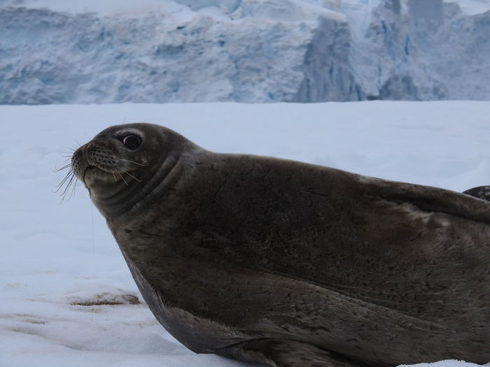 Leopard Seal in Antartic Peninsula Animal Wildlife Animals In The Wild Antartic Peninsula Antartica Antartida Aquatic Mammal Cold Temperature Nature No People One Animal Outdoors Seal - Animal Seal Watching Snow Travel Destinations