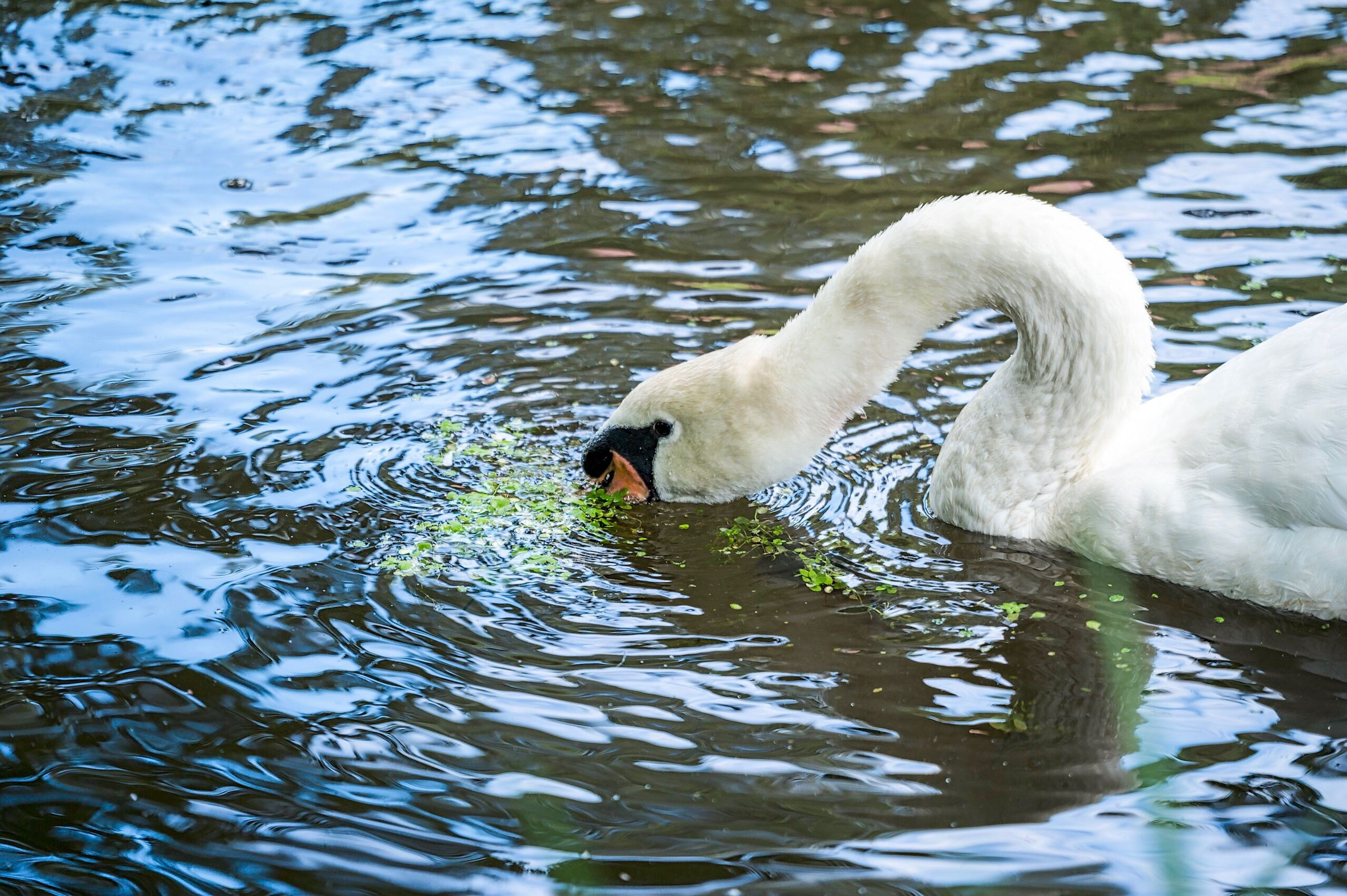 animal themes, swimming, bird, one animal, animals in the wild, water, lake, water bird, beak, swan, day, floating on water, outdoors, no people, close-up, nature
