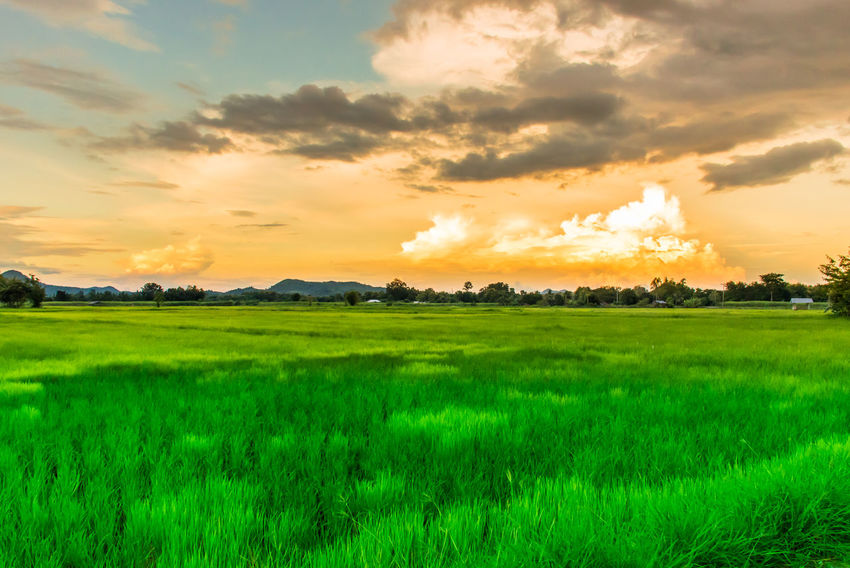 Agriculture Beauty In Nature Cloud - Sky Day Farm Field Grass Green Color Growth Landscape Nature No People Outdoors Rice Paddy Rural Scene Scenics Sky Sunset Tranquil Scene Tranquility Tree