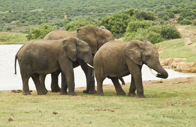 Elephants on field
