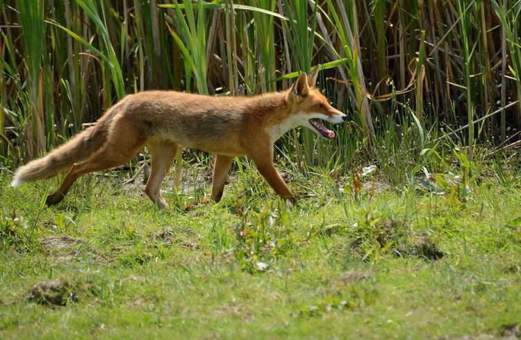 Oostvaardersplassen vos Oostvaardersplassen Fox Hunting Hungry Nature Wildlife