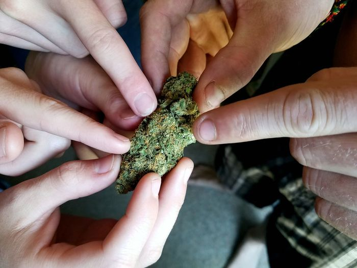 Close-Up Of People Touching Cannabis Plant