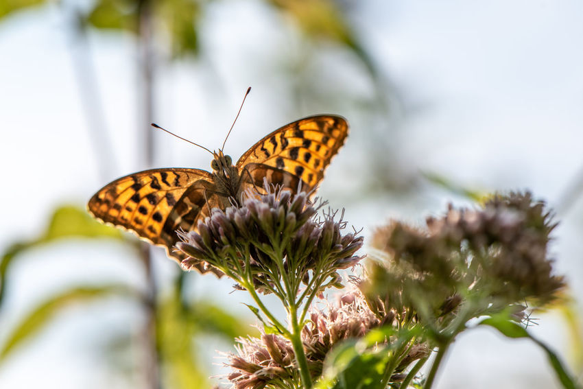Weekend time - enjoy! ... Argynnis Paphia Silver-washed Fritillary Animal Animal Themes Animal Wildlife Animal Wing Beauty In Nature Butterfly Butterfly - Insect Close-up Day Flower Flower Head Flowering Plant Fragility Insect Invertebrate Nature No People One Animal Outdoors Plant Pollination Selective Focus Vulnerability