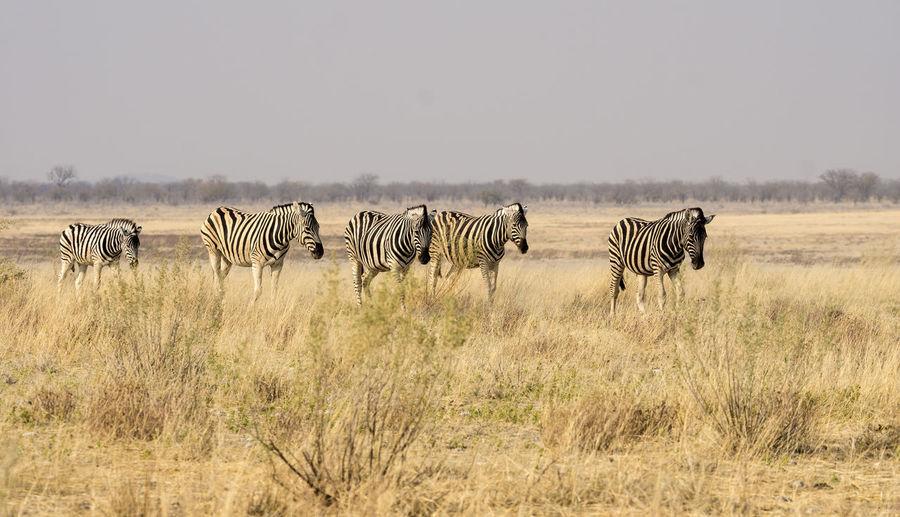Shot in Etosha, Namibia Morning Namibia Zebra African Elephant Animal Themes Animal Wildlife Animals In The Wild Beauty In Nature Day Dryness Etosha National Park Full Length Grass Mammal Nature No People Outdoors Safari Animals Scarcity Sky Striped Water Zebra Zebra Stripes