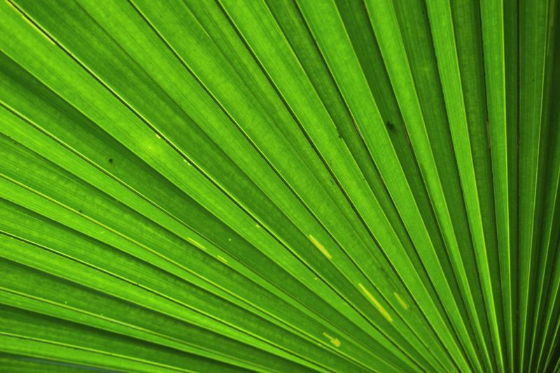Palm Leaf Leaf Palm Tree Green Color Nature Close-up Botany Tree Pattern Textured  Nature Photography Beauty In Nature Nature Green Color Naturepatterns Naturedesign