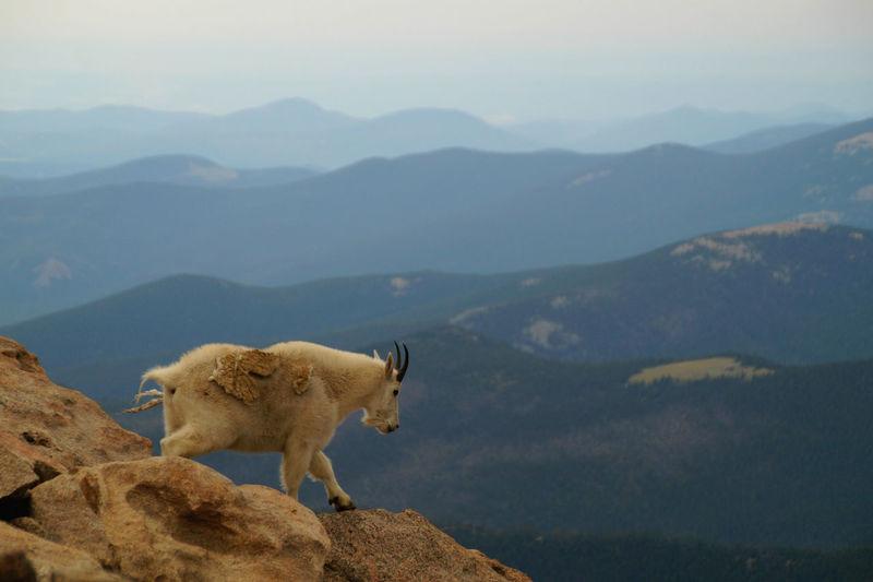 Goat on mount evans against sky