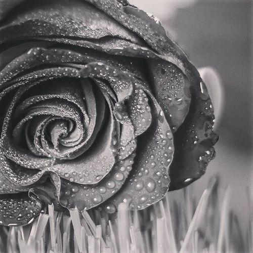 Belarus Nature Photo Lusienka_pilets Canon Flowers Morning Rosé беларусь Природа весна Spring цветы роза капельки Чб