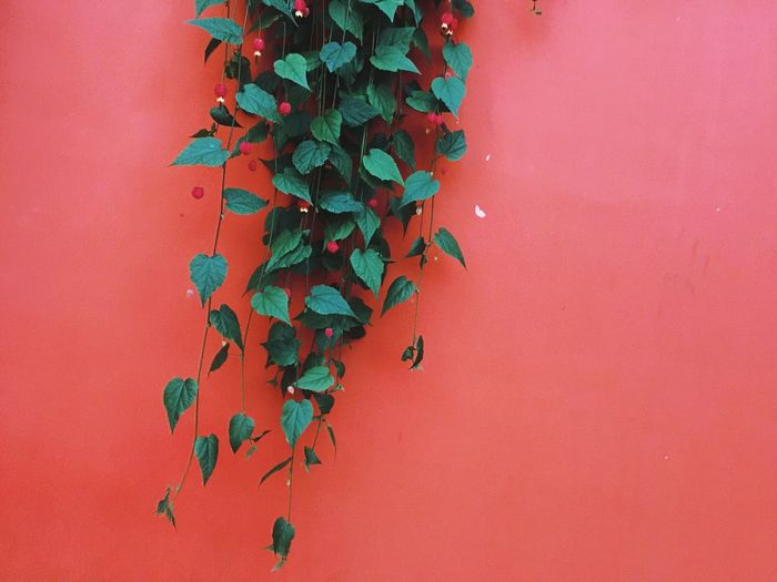 Crawling Leaves Green Color Leaves And Vines Orange Color Wall Wall - Building Feature Growth Leaf Ivy Plant No People Nature Day Hanging Outdoors Creeper Plant Beauty In Nature Vine - Plant Freshness