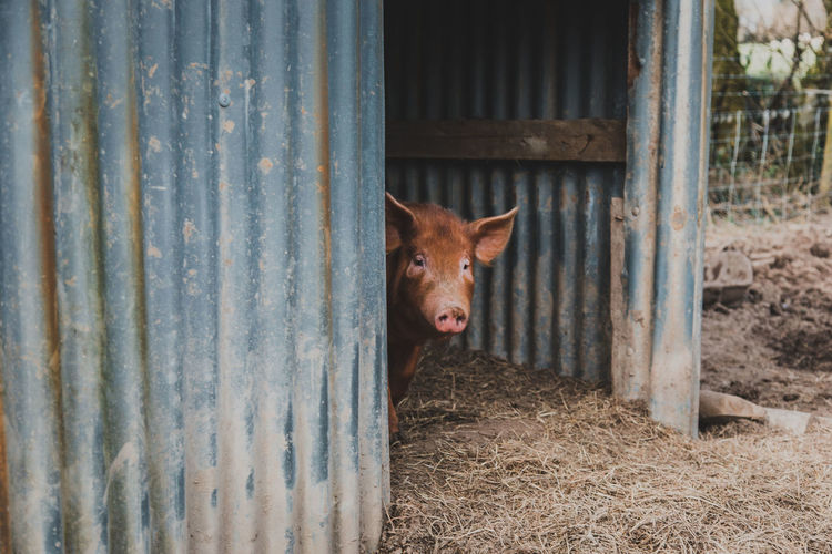 One Animal Animal Animal Themes Mammal Domestic Animals Pets Domestic Vertebrate No People Livestock Boundary Fence Day Barrier Pig Metal Security Looking At Camera Portrait Safety Peeking Stable Animal Head