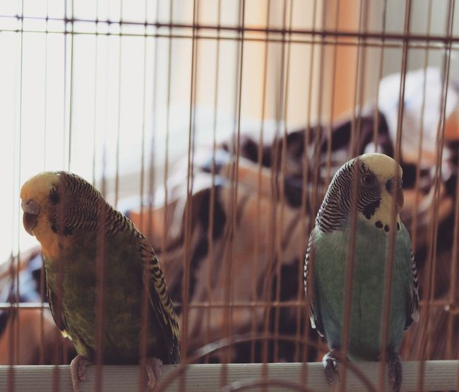 Cage Indoors  Trapped Focus On Foreground No People Animal Themes Bird Nature Close-up Day