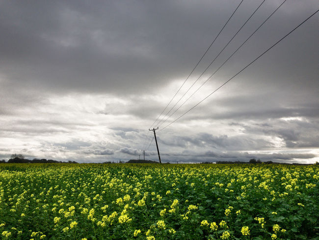 Agriculture Beauty In Nature Field Landscape Nature Outdoors Power Line  Sky Yellow Flowers
