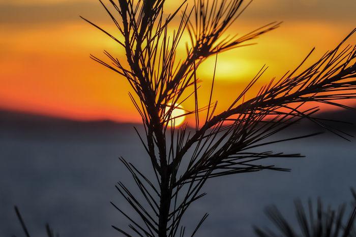 Perfect sundown - fir tree EyeEm Ready   Fir Tree Mallorca Orange Sky Sunset Silhouettes Sunset_collection Beauty In Nature Close-up Fir Trees Nature No People Orange Color Outdoors Plant Scenics Sky Sun Sundown Sunset Tranquility