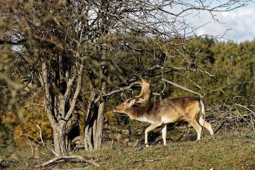 Buck Deer Fallow Deer Dunes Of Holland Plant Tree Animal Themes Animal Mammal Outdoors Deer