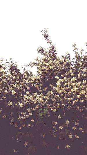 Nature No People Outdoors Beauty In Nature Minsk Flowers Jasmine Flower Jasmin Bush