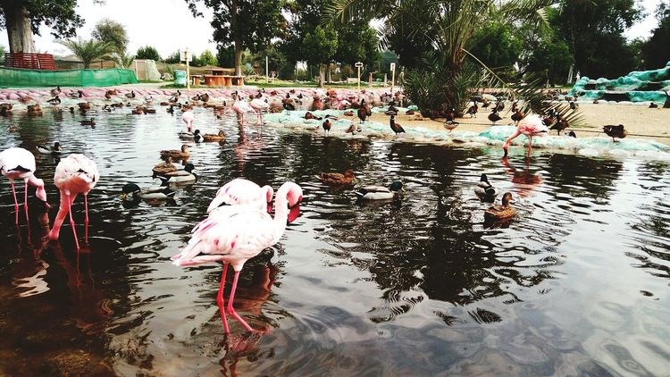 Bird Flamingo Water Large Group Of Animals Animal Themes Lake Tree Day Nature Flock Of Birds No People Outdoors Swan Birds Bird Photography Birds🐦⛅ Birdwatching Birds Of EyeEm  Birds Eye View Bahrain BahrainZoo Bahrain Tourism