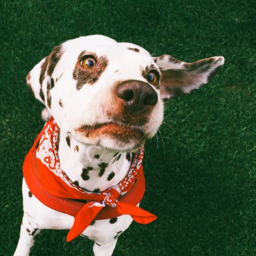 High Angle View Of Dalmatian On Field