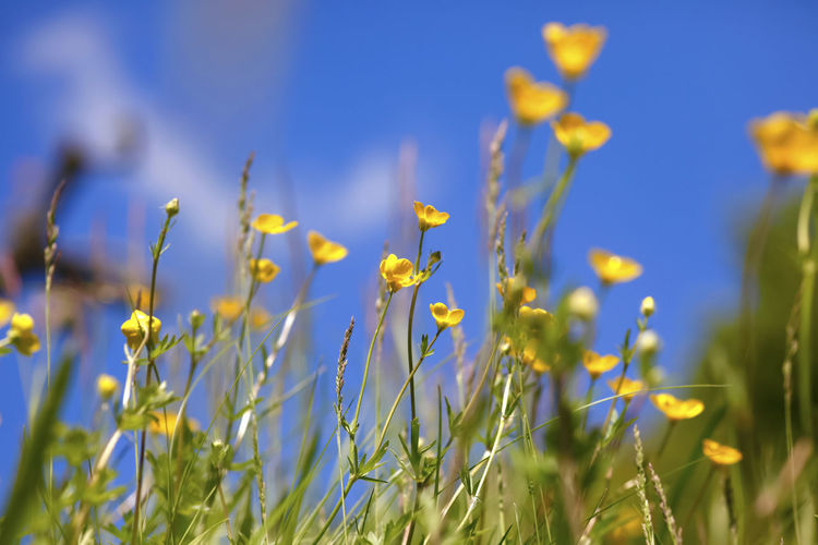 Close-up of yellow flowers blooming on field against blue sky