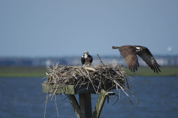 Animal Nest Animal Themes Animal Wildlife Animals In The Wild Bird Bird In Flight Bird Nest Bird Of Prey Clear Sky Day Inflight Nature New Jersey Wetlands No People Osprey Nex Ospreys Outdoors Sky Spread Wings