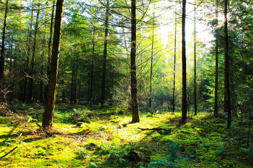 sunrise in green forest Bäume Sonnenaufgang Sträucher Sunlight Beauty In Nature Day Forest Growth Landscape Nature No People Outdoors Scenics Sommer Sunrise Tranquil Scene Tree Tree Trunk Wald WoodLand
