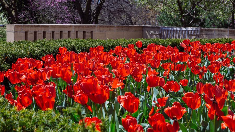 Tulips Flower Red Beauty In Nature Flower Head Flowerbed Tulip Outdoors Blooming Springtime Beauty Kansas City Missouri  Kansas City Travel Nelson-atkins