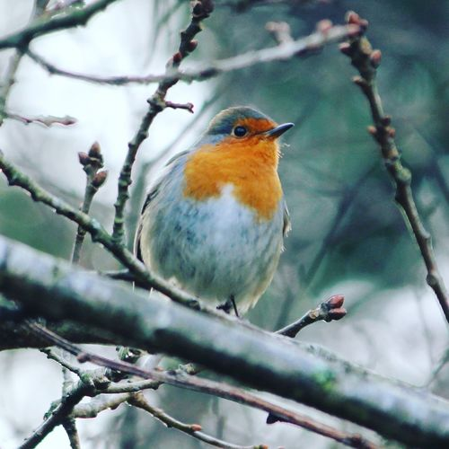 Low angle view of robin perching on branch