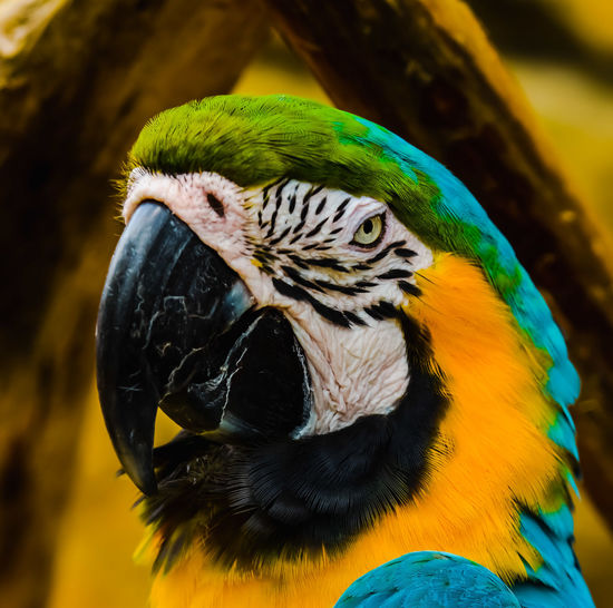 Beauty in nature. Macaw Bird Gold And Blue Macaw Parrot Portrait Multi Colored Blue Beak Looking At Camera Closing Tropical Bird Tropical Rainforest HEAD