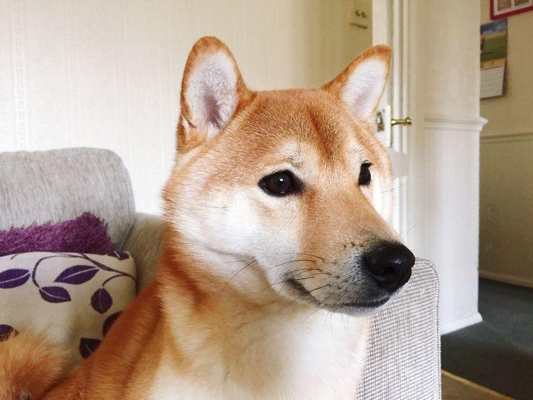Akira the shiba inu Dogs Shiba Inu