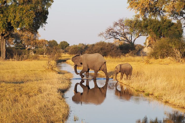 Africa Animal Themes Baby Clear Sky Day Domestic Animals Domestic Cattle Elephant Field Herbivorous Livestock Mammal Nature Non Urban Scene Outdoors Pasture Reflection Riverbank Rural Scene Tranquil Scene Tranquility Tree Water Waterfront Zoology