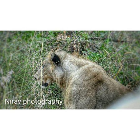 Nofilter Kingofthejungle Lion Gamedrives Picoftheday MyPhotography Rcnocrop