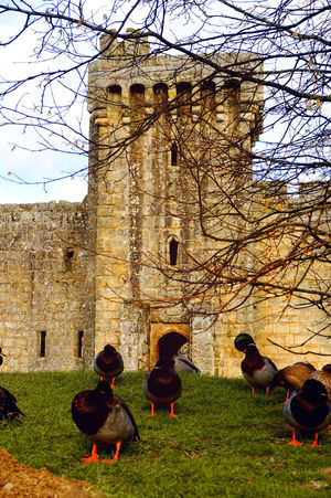 Ducks around the castle Architecture Bodiam Castle Branches Building Exterior Day Ducks Historic History Low Angle View Medieval Medieval Architecture Old Outdoors Ruined Travel