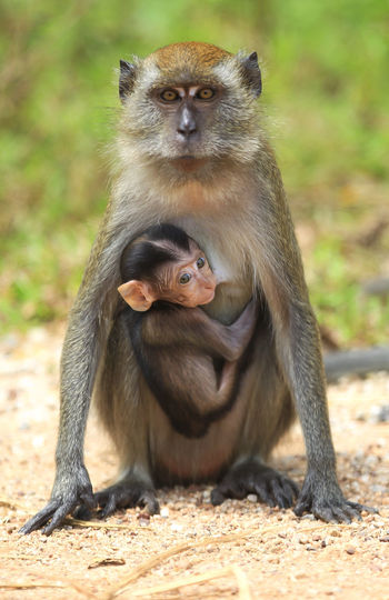Portrait Of Monkey With Infant Sitting On Dirt Road