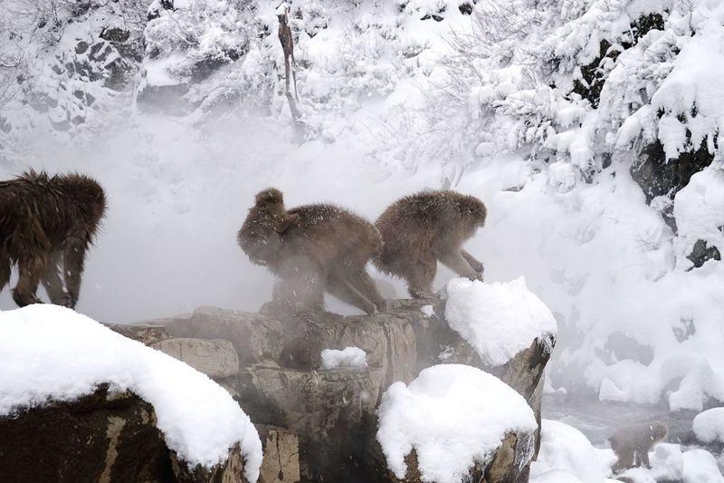Monkeys on rock at hot spring during winter