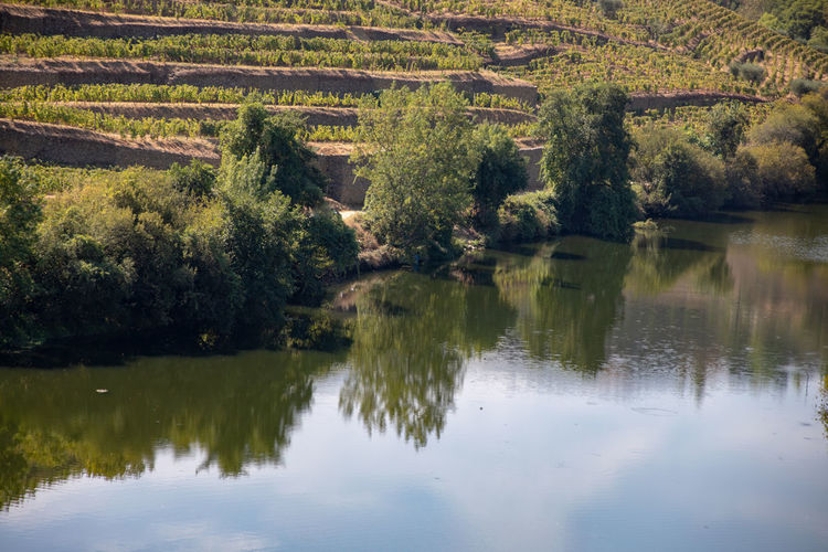 Tree reflection on Douro riverbank, vines in terraces Beauty In Nature Day Environment Forest Green Color Lake Land Landscape Nature No People Outdoors Plant Reflection Scenics - Nature Tranquil Scene Tranquility Tree Water