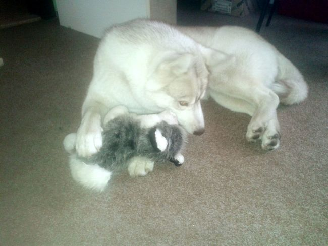 Siberian Husky I Love My Dog