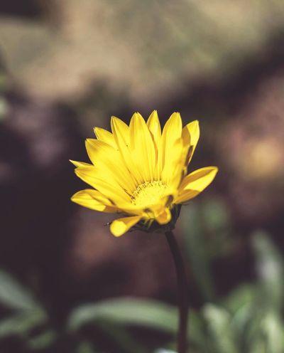 Flower. 🌻 Flower Yellow Flower Head Petal Nature Plant Close-up Blossom Outdoors Freshness Sunflower Beauty In Nature Macro Photography Macro_flower Macro_captures Dofaddicts Dof_brilliance Dof Nature First Eyeem Photo