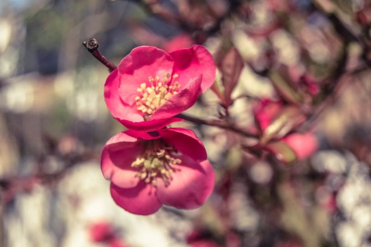 Plant Flowering Plant Growth Flower Beauty In Nature Freshness Close-up Fragility Petal Vulnerability  Selective Focus No People Nature Pink Color Inflorescence Day Flower Head Focus On Foreground Tree Blossom Outdoors Pollen Springtime Cherry Tree Cherry Blossom Space For Text Space For Copy