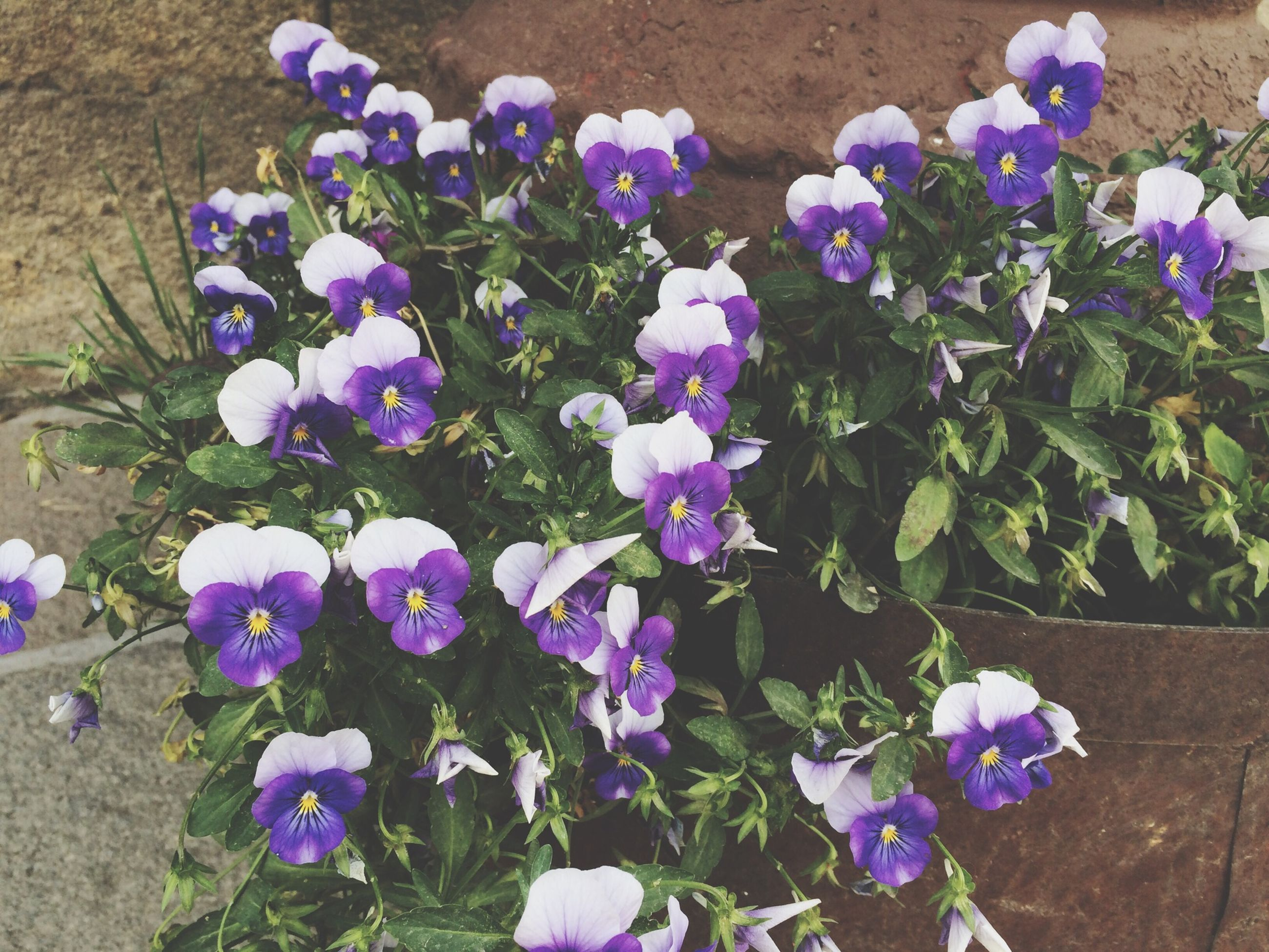 flower, purple, freshness, fragility, petal, growth, plant, high angle view, beauty in nature, flower head, blooming, nature, in bloom, blue, field, no people, outdoors, springtime, day, close-up