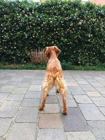 Whisky Epagneul Breton Domestic Dog Pets