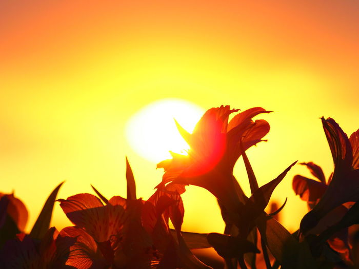 Close-up of orange flowering plant against sky during sunset