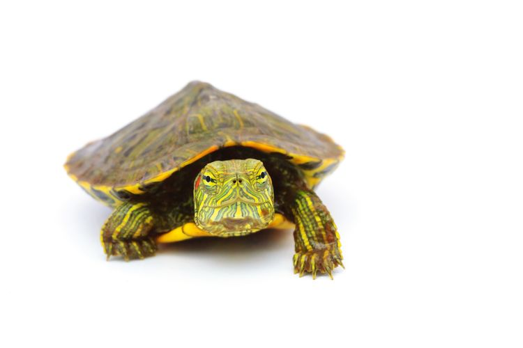 turtle Pet Red Eared Slider Turtle Red Eared Slider Animal Tortoise Shell White Background Tortoise Reptile Animal Themes Close-up Turtle Slow Animal Shell Shell
