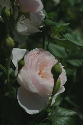 Roses Natures Diversities Showcase June