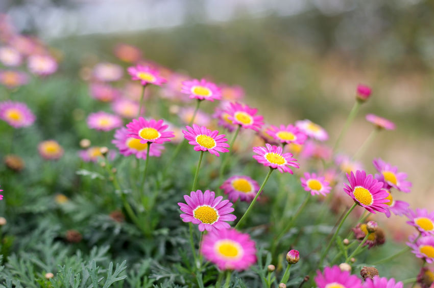 Flower Flowering Plant Plant Freshness Beauty In Nature Fragility Growth Vulnerability  Inflorescence Flower Head Petal Land Nature Close-up No People Pink Color Field Day Selective Focus Outdoors Springtime Flowerbed