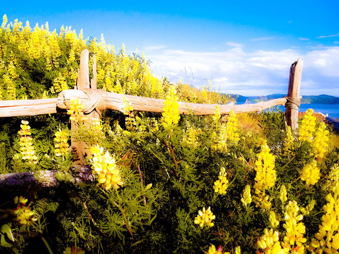 It was all so beautiful... As if in a dream Drift Wood Fence At The Beach Today ♡ EyeEm Selects Yellow Lupines Sky Cloud - Sky Blooming