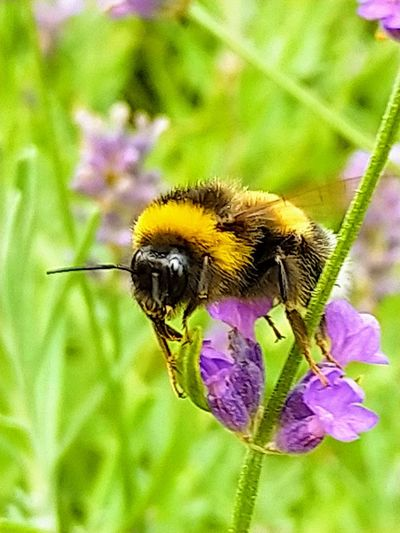 Flower Flower Head Bee Pollination Bumblebee Insect Purple Thistle Animal Themes Close-up