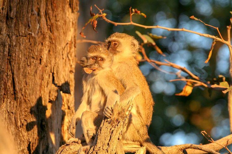 Two monkeys in a tree