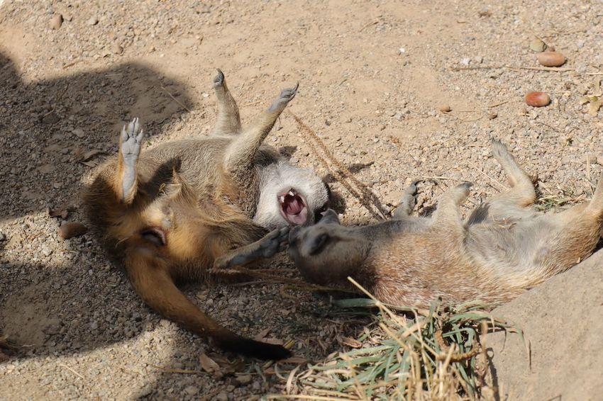 Two Animals Suricates Suricate Mercat Merkat Erdmännchen Animal Fight Animal Playing Land Animal Sand Sunlight Animal Themes Vertebrate Day Animals In The Wild Animal Wildlife No People Mouth Open